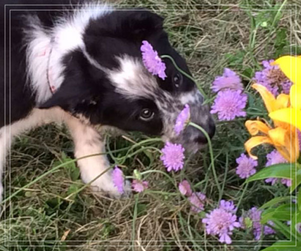 Dog playing in flowers